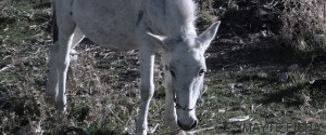 burro itaca