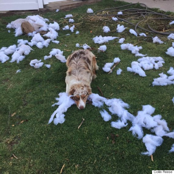 dog shredded pillow outside