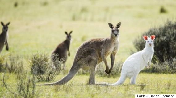 albino kangaroo act