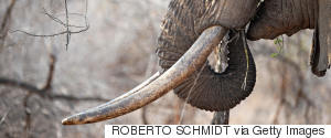 AFRICA ELEPHANT IVORY