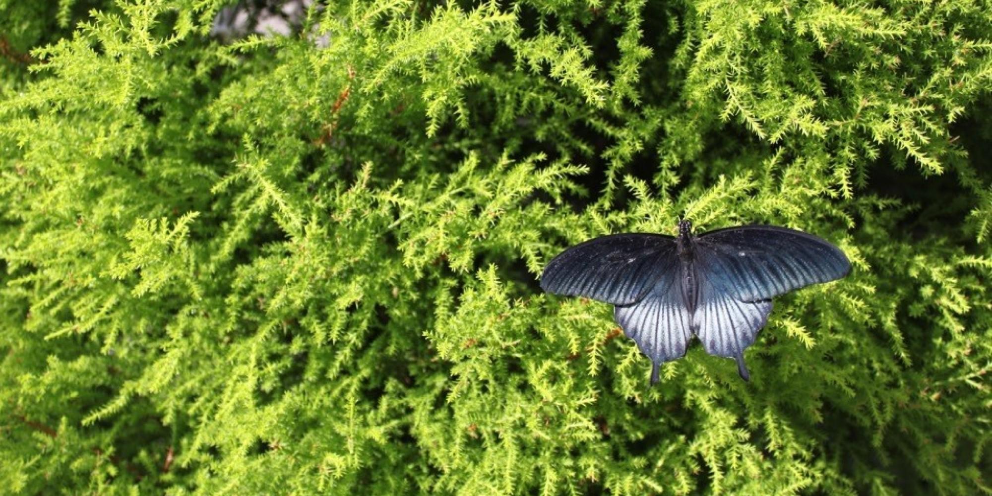 Papillons en libert au jardin botanique les chenilles for Jardin hamel papillon 2016