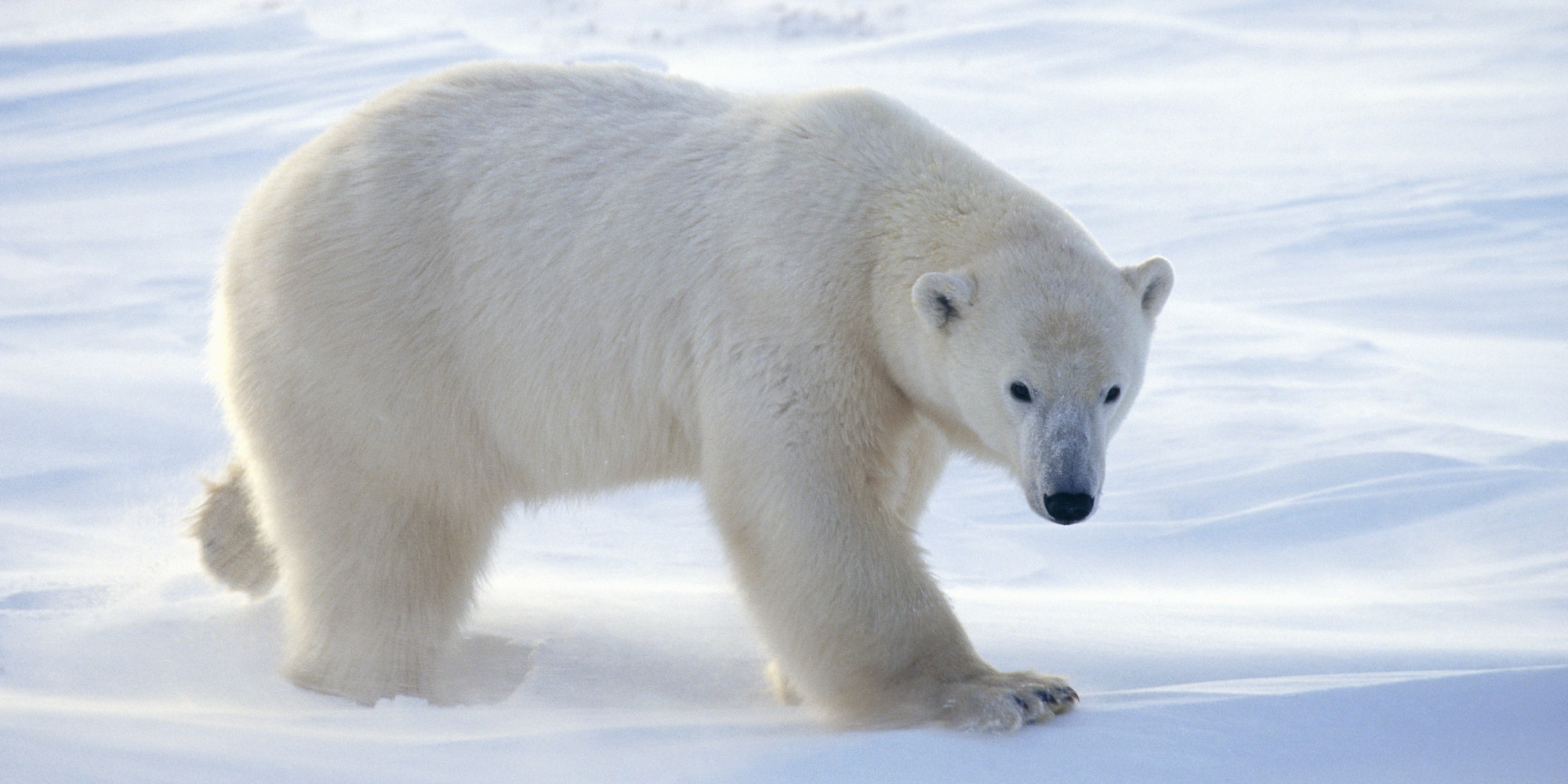Polar Bear Patrols Keep Bears And Communities Safer