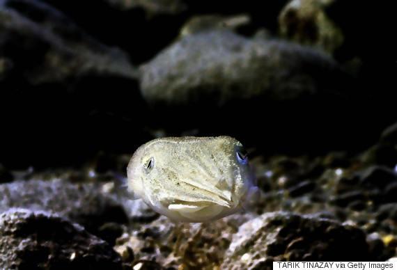 cuttle fish ocean
