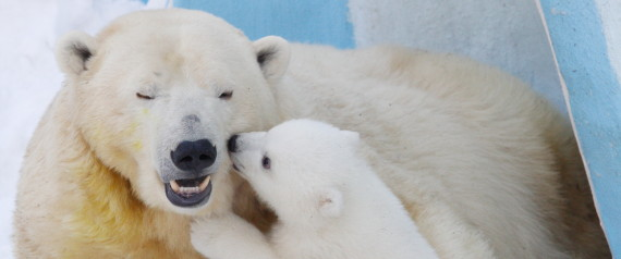 POLAR BEARS THREATENED