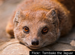 The Talking Mongoose: The Real Story