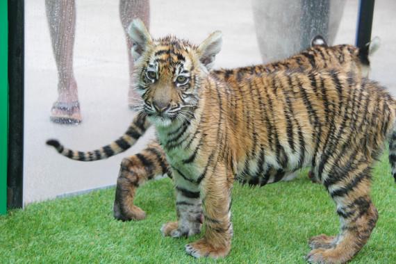 tiger cubs