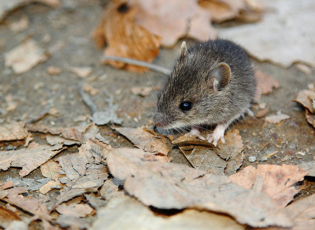 How to get rid of mice in a house with dogs garden pest