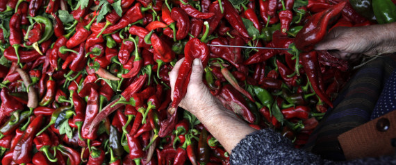 PICKING CHILI PEPPERS