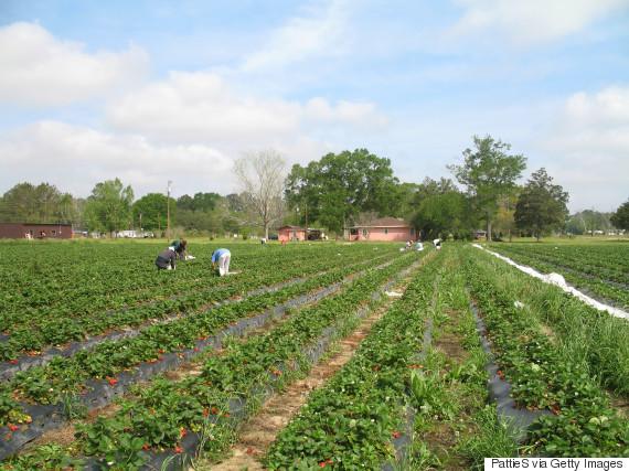 migrant fruit pickers