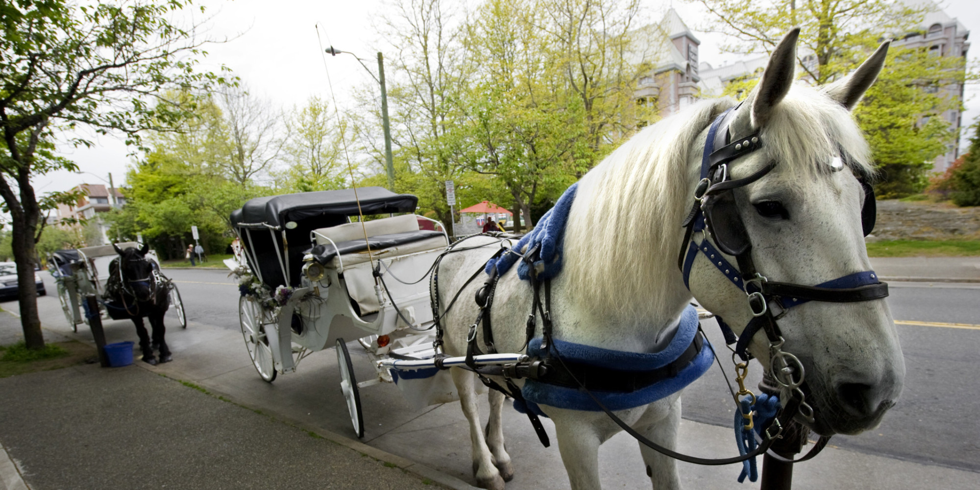Horse Drawn Carriages In Victoria B C Should Be Banned