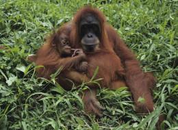 Borneo Orangutans: Discover the Rainforests