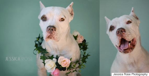 pitbull with flowers