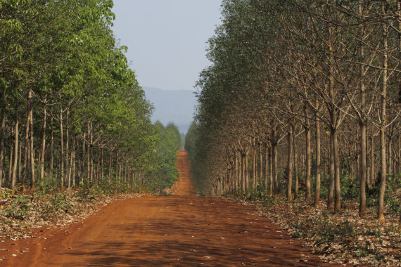 rubber trees cambodia