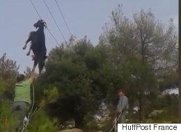 L'improbable sauvetage d'une chèvre coincée dans des câbles électriques (VIDÉO)