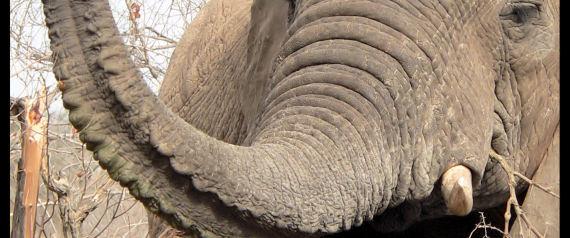 NOSEY ELEPHANT