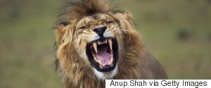 ROAR LION