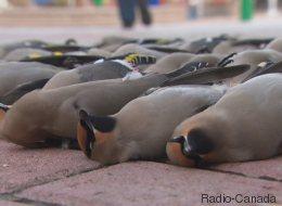 Une trentaine d'oiseaux retrouvés morts à Ottawa