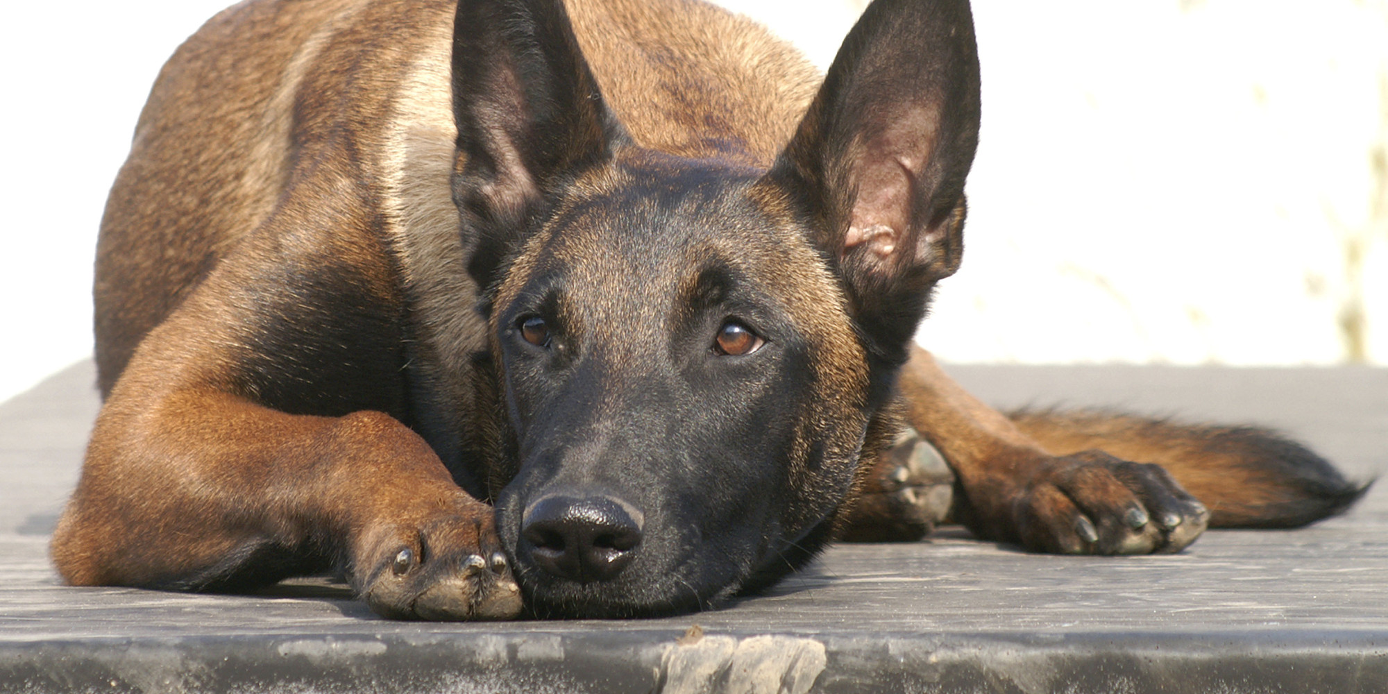 Calgary Police Dog S Fate Undecided After Boy Attacked