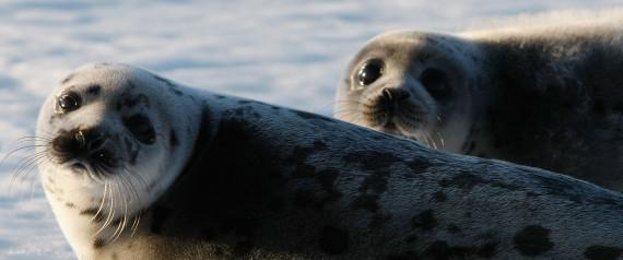 ATLANTIC SEAL HUNT