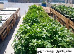 هل كنت تتوقع زراعة الخضروات بالمياه الناتجة عن الوضوء.. إليك هذه التجربة المصرية