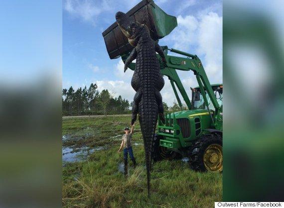 outwest farms alligator
