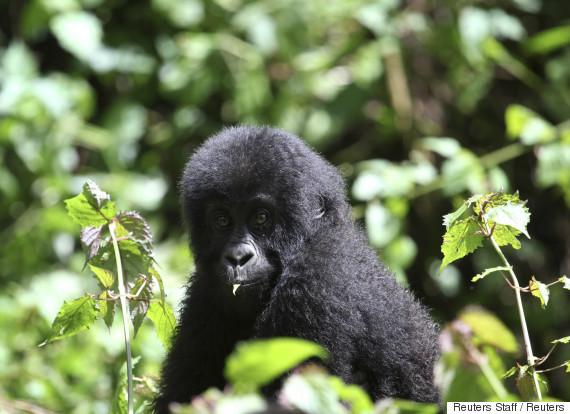 lowlands gorilla