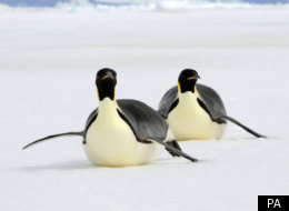 The Daily Mash: 'Frozen Planet' Penguins Given Whisky