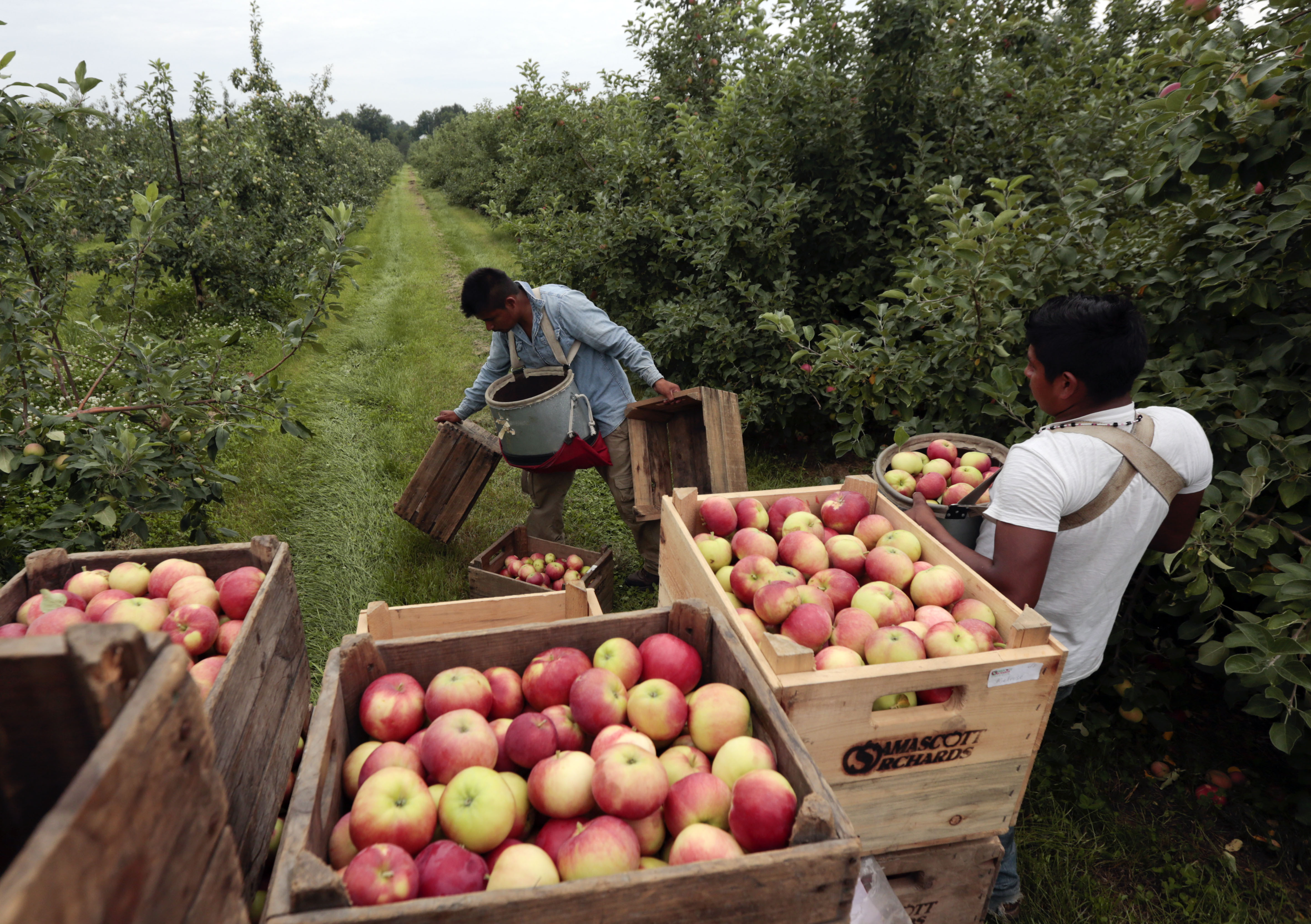 samascott orchards