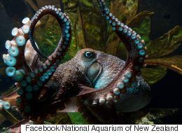 L'évasion spectaculaire d'une... pieuvre en Nouvelle-Zélande