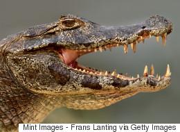 En Floride, une spectaculaire scène de cannibalisme entre alligators