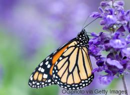 Tous à l'asclépiade: les papillons monarques ont besoin de notre aide!