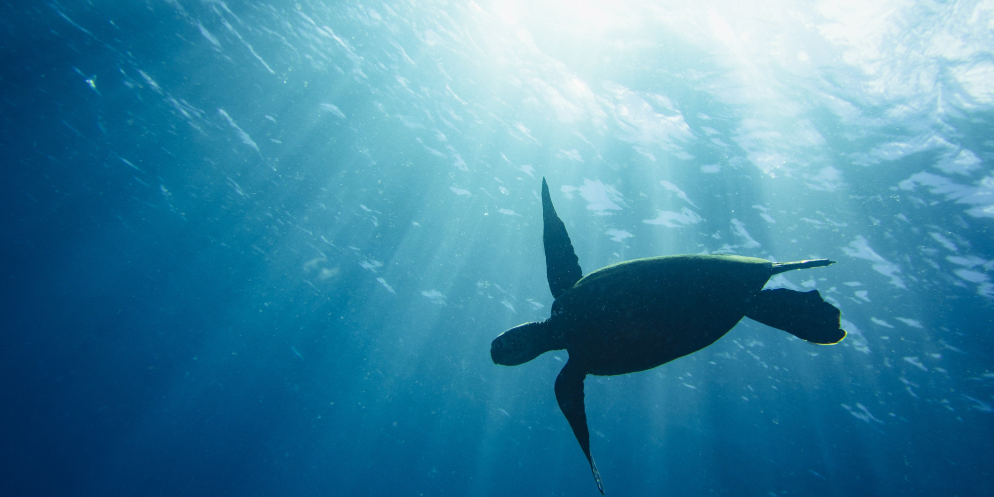 save the sea turtles Having been on the planet for over a hundred million years, outliving the  dinosaurs, all of the seven sea turtle species are now on the brink of.