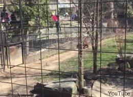 Une femme franchit une clôture du quartier des tigres au zoo de Toronto (VIDÉO)