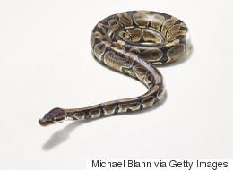 Quel serpent mord le plus vite? Des scientifiques se posent la question