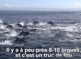 L'impressionnante embuscade tendue par des orques à un banc de dauphins (VIDÉO)