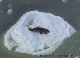 Ces images de la chasse aux phoques au Canada vont vous choquer (VIDÉO)