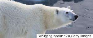 POLAR BEAR SEA ICE