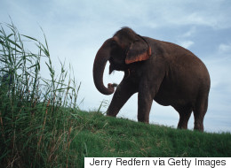 Indignation du Web après la mort de cette éléphante pour touristes