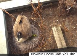 Forget The Kardashians, This Canada Goose Cam Has Video Game Music
