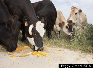 Orange Peels Cattle