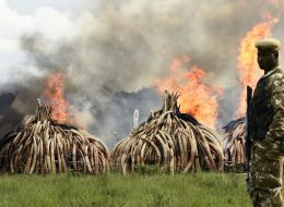 Kenya Sets Tons Of Ivory On Fire To Protest Poaching