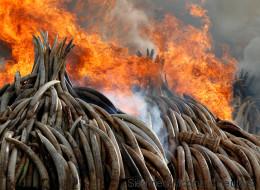 Le Kenya brûle la plus grande quantité d'ivoire de l'histoire (PHOTOS/VIDÉO)
