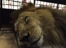 33 lions retrouvent la liberté après une vie de maltraitances (PHOTOS)