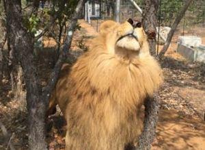 Lions Libert