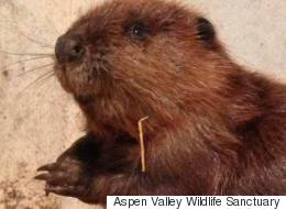 Thin And Dehydrated 'Justin Beaver' Makes A Comeback