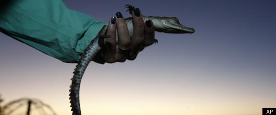 FLORIDA CROCODILES TURKEY POINT