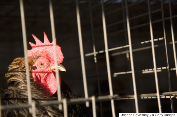 cage chickens