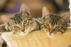 Tabby cats | Pic: Getty Images