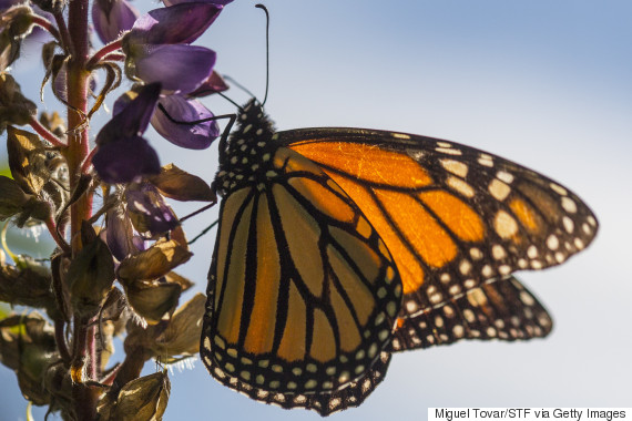 monarch butterfly mexico