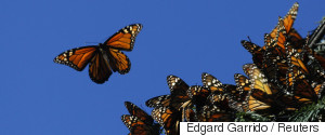 MONARCH MEXICO BUTTERFLIES